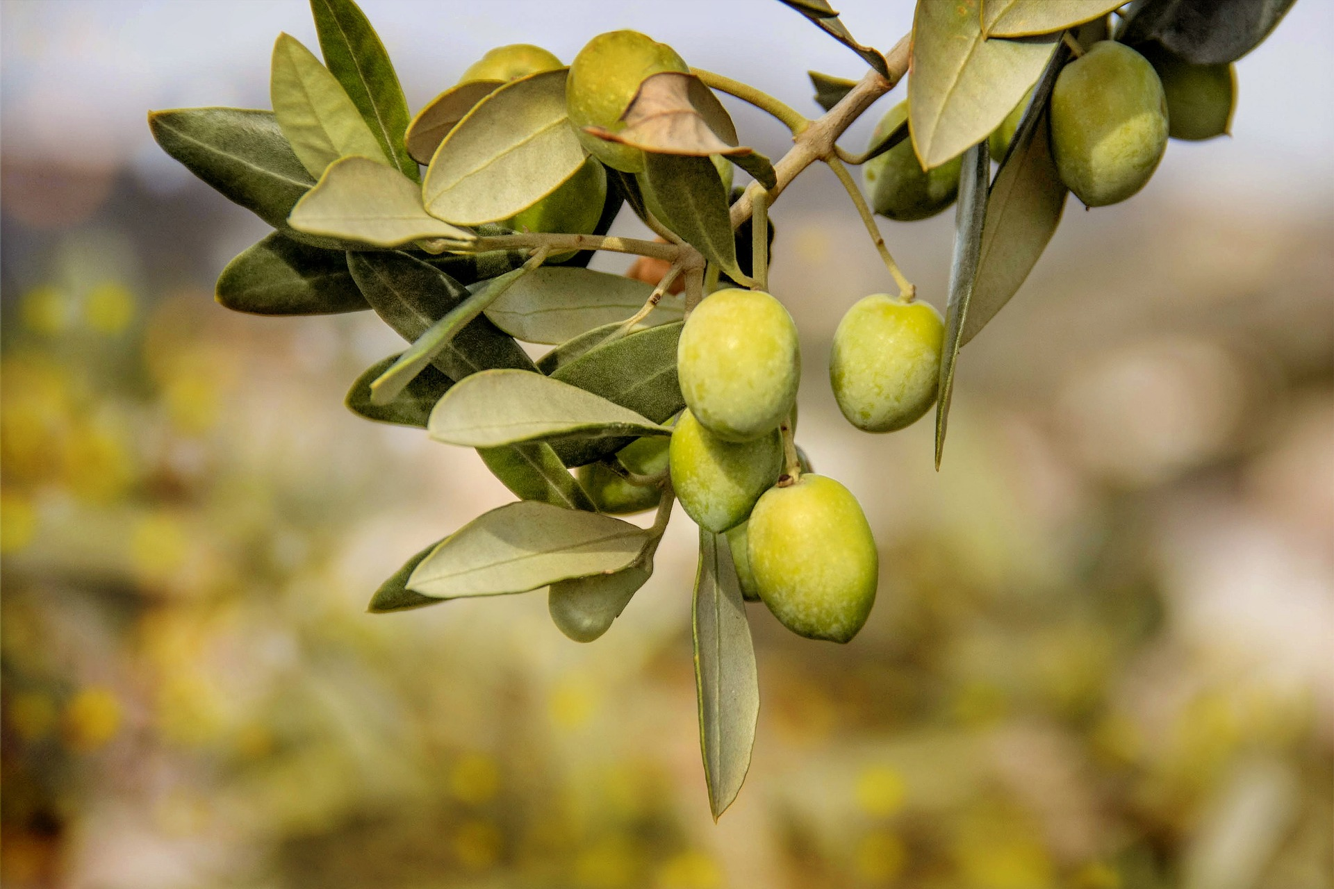 olive tree and olive brand